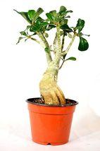 1 Plant of Adenium Desert Rose - $37.99