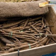 Chiko Burdock Seed ,Vegetable Seeds, Ship From US - $15.00