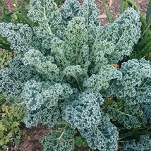 2000 Seeds 1/4 OZ Kale Seeds, Dwarf Blue Curled Scotch, NON-GMO - $8.99