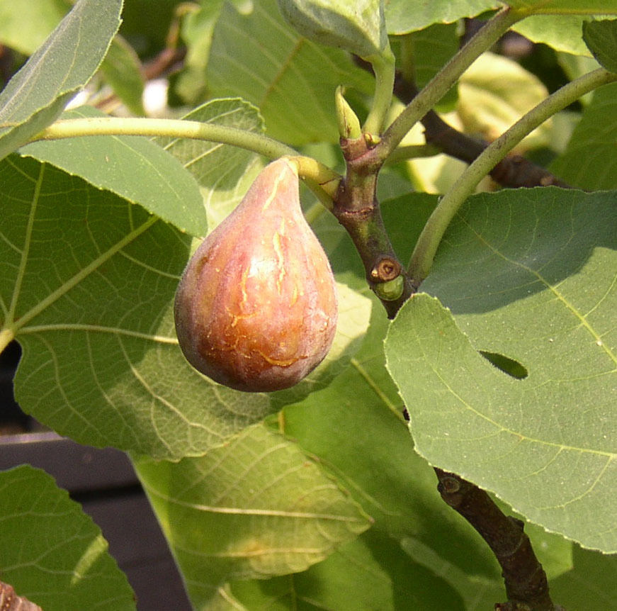 "SHIP From US, 5-6"" + cuttings TEXAS EVERBEARING FIG Cuttings, Vegetable Seed AM - $45.99"