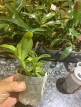 ~SALE~ Dendrobium Parishii Var Dark Pink Species Orchid Plant______________ image 4