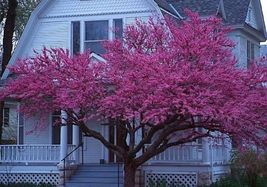 Eastern Red Bud, Cercis canadensis, 60 Tree Seeds (Fast, Showy, Fall Color) - $13.99