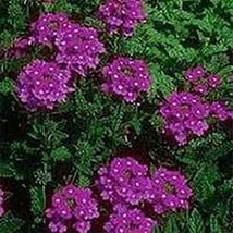200 Moss Verbena (Purple) Seeds - $6.93