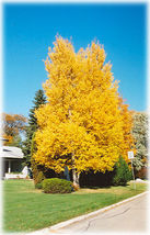 50 Paper Birch, Betula papyrifera, Tree Seeds (Fast, Hardy, Fall Color) - $9.99
