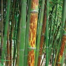 50+ Phyllostachys nigra Bory Tiger bamboo seeds USA Seller Black bamboo - $9.98
