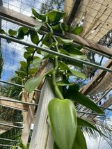 """Vanilla planifolia Orchid Plant Species 24"""" Cutting Rooted And Ready To Grow 127 image 7"""