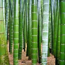 25 Seeds of Tortoise Shell Bamboo ( Ebible Bamboo ) Palm Seeds - Phyllostachys E - $11.88