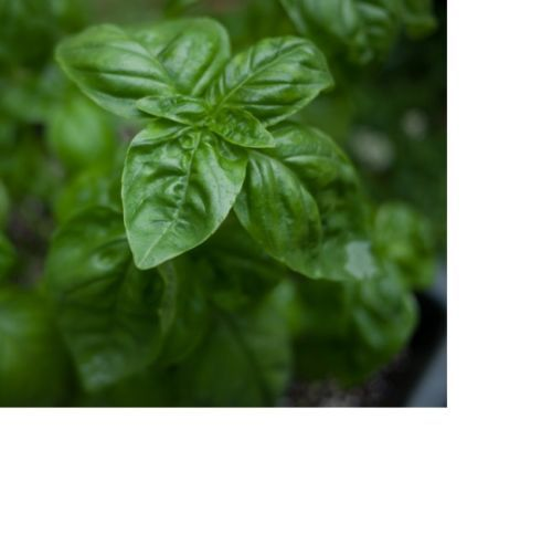 SHIPPED From US,PREMIUM SEED: 100 Particles of Genovese Basil, Hand-Packaged