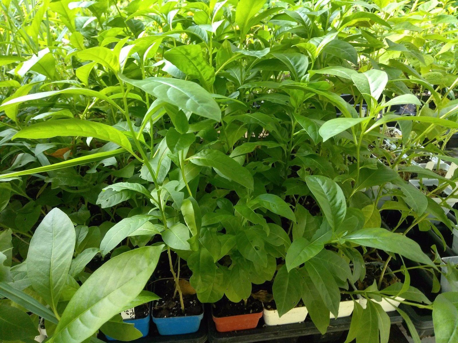 """Cestrum - Orange Zest - Live Plant - 4"""" Perennial Pot - 1 Plant"""