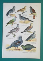 OUR BIRDS Pigeons Doves Gulls Tern Auk Puffin Skua - Charming COLOR Lith... - $16.65