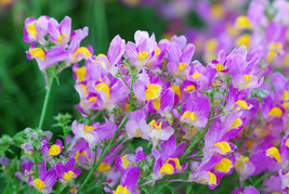 50pcs Very Beautiful Purple Linaire Common Linaria Vulgaris Flowers Seeds IMA1 - $14.88