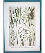 BOTANICAL PRINT 1896 Color Litho - Grasses Foxtail Common Reed Rice - $13.77