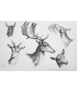 1801 ORIGINAL ETCHING Print by Howitt - Heads of Deer Doe Fawn - $30.60