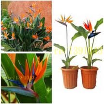25 pcs Strelitzia Reginae Seed Potted Plant Flowers Bird of Paradise rar... - $1.00