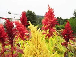 50 Seeds of Amaranthus Amaranth Fall Mix - $11.74