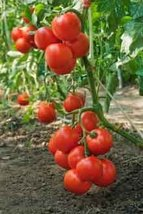 50 Seeds Rutgers Tomato Plant (Lycopersicum Rutgers) Garden Vegetable - $7.87