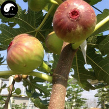 Buy Ficus Carica Fruit Tree Seeds 120pcs Plant Fruit Figs For Fruit Ficu... - $9.99