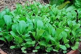2000 Seeds Roquette Arugula Seeds, Eruca, NON-GMO, Heirloom - $7.99
