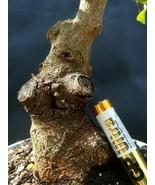 Bonsai Pistacia lentiscus - Approximately 16 years old plant- Mastic Tree - $91.17
