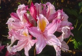 1 Starter Plant of Rhododendron 'Candy Stripe' - $81.18