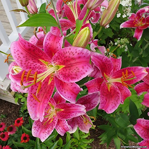 Primary image for 5 Lily Bulbs Oriental Lily Star Gazer