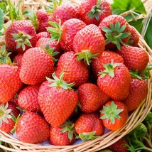 25 Organic Honeoye Strawberry Plants Incredibly Sweet Berry Non GMO Bare... - $49.99
