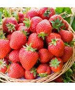 25 Organic Honeoye Strawberry Plants Incredibly Sweet Berry Non GMO Bare... - $49.99