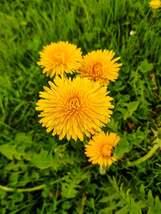 Dandelion Herb Seed | Bitterwort Seeds | Lion's Tooth Seed | 500 seeds - $28.20
