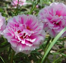 200pcs Very Enchant Portulaca grandiflora Rose Pink Sunflower Seeds  - $14.97