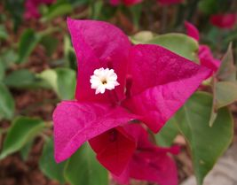 Bougainvillea Plant - 'La Jolla' (It's not seeds) - $28.05