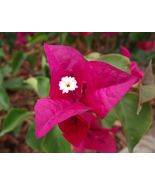 Bougainvillea plant    la jolla   it s not seeds  02 thumbtall