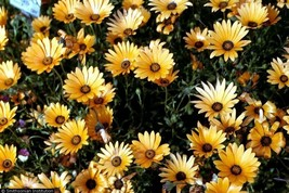 SHIPPED From US,PREMIUM SEED:70 Particles of African Daisy, Hand-Packaged - $24.99