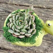 "Echeveria in Turtle Planter, Live Succulent, 5"" Green Ceramic Tortoise Pot image 3"