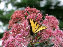 SHIPPED FROM US 160,000 Sweet Joe Pye Weed A butterfly favorite Seeds, ZG09 - $161.96