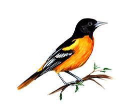 Baltimore Oriole Maryland State Bird Watching Vinyl Decal Home Decor Sticker Art - $5.99+