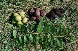 Black Walnut tree quart pot image 4