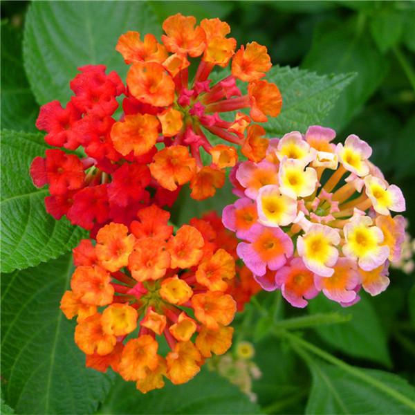 New arrival lantana camara flower seeds tropical heavy blooming plant 30 seeds