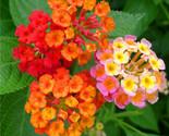 New arrival lantana camara flower seeds tropical heavy blooming plant 30 seeds thumb155 crop