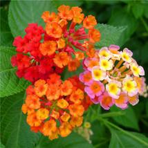 New arrival lantana camara flower seeds tropical heavy blooming plant 30 seeds thumb200