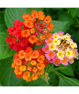 Lantana Camara Flower Seeds Tropical heavy blooming plant 30 seeds - $2.28