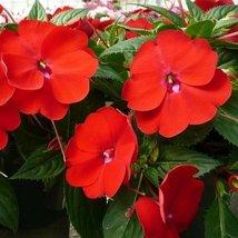 50 Impatiens (Walleriana Baby) Scarlet Seeds - $8.99