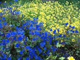 32 Seeds California Bluebell Seeds, - $13.86