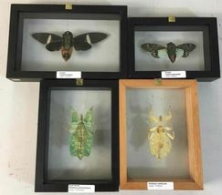 Insect Entomology Lot Collection 36pc Specimen Scorpion Lantern Fly Beetle image 5
