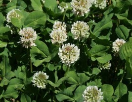 SHIP FROM US 4 Ounces Seeds Ladino White Clover,DIY Plant Seeds RM - $18.99