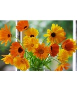 150 Calendula Pacific Beauty Mix Flower Seeds 2019 (all non-gmo heirloom... - $5.92