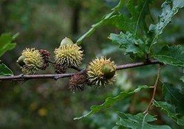 7 pcs/pkt Turkey Oak Tree Seeds For Planting - $36.63
