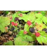 25 Pcs Seeds Pacific Rubus Ursinus Vining Trailing Blackberry Shrub Frui... - $16.00