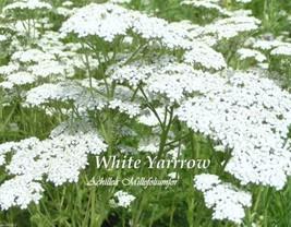 5000 Yarrow Seeds - White - (Achillea Millefolium) Perennial Flowers ! - $2.93