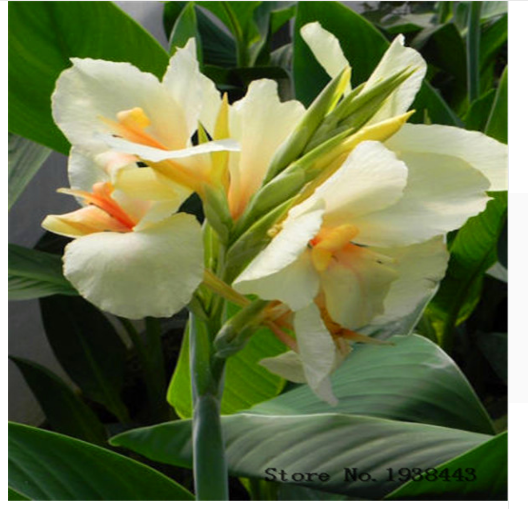 2 4 6 8 10 Canna Lily Flower Bulbs Not Canna Lily Seeds