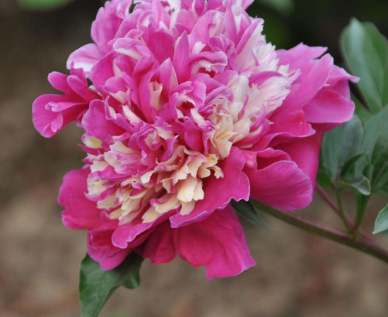5 pcs very adorable Peony Short Purple Petals Big Ball Centre Flower Seeds - $13.75